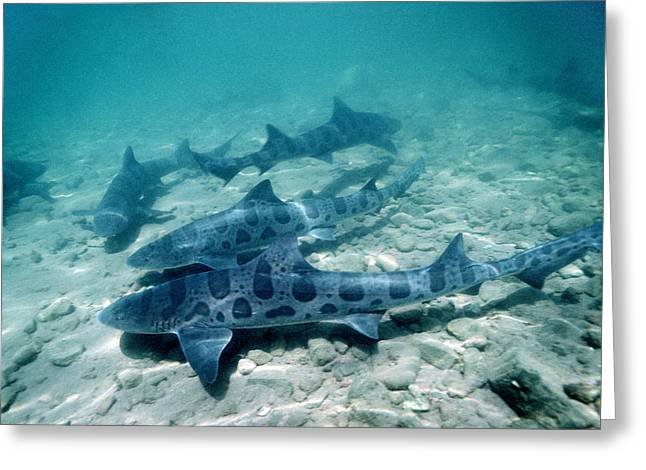 Leopard Fish Greeting Cards - Female Leopard Sharks Greeting Card by Georgette Douwma