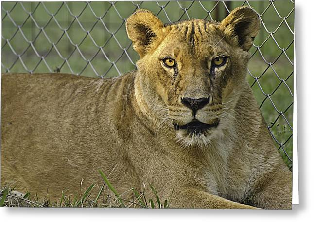 Lioness Greeting Cards - Female Lion Greeting Card by Melany Sarafis