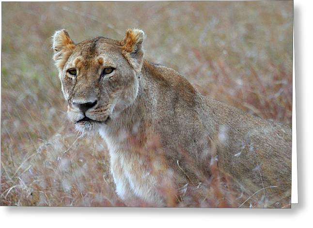 Lioness Greeting Cards - Female Lion Portrait Greeting Card by Carole-Anne Fooks