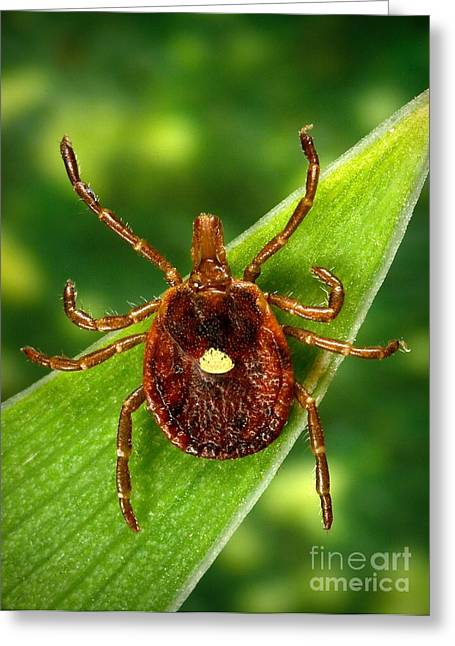 Staris Greeting Cards - Female Lone Star Tick Greeting Card by Science Source