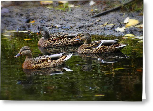 Water Fowl Greeting Cards - Female Mallards Greeting Card by Scott Hovind