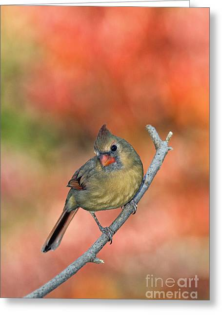 Female Northern Cardinal Greeting Cards - Female Northern Cardinal - D007809 Greeting Card by Daniel Dempster
