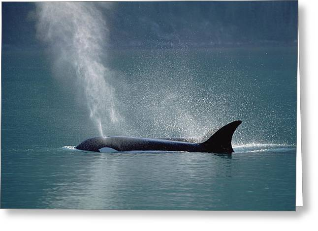 Atlantic Killer Whale Greeting Cards - Female Orca Spouting Alaska Greeting Card by Konrad Wothe