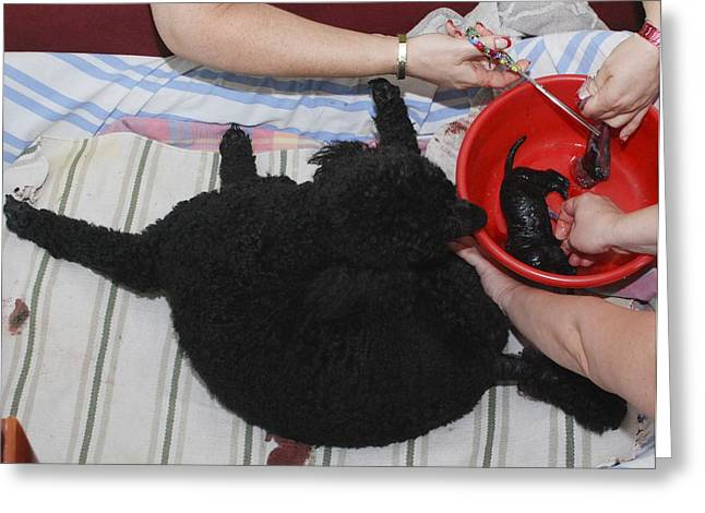 Owner Greeting Cards - Female Poodle Gives Birth Greeting Card by Photostock-israel