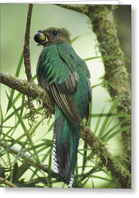 Animal Dispersal Greeting Cards - Female Resplendent Quetzal Pharomachrus Greeting Card by Steve Winter