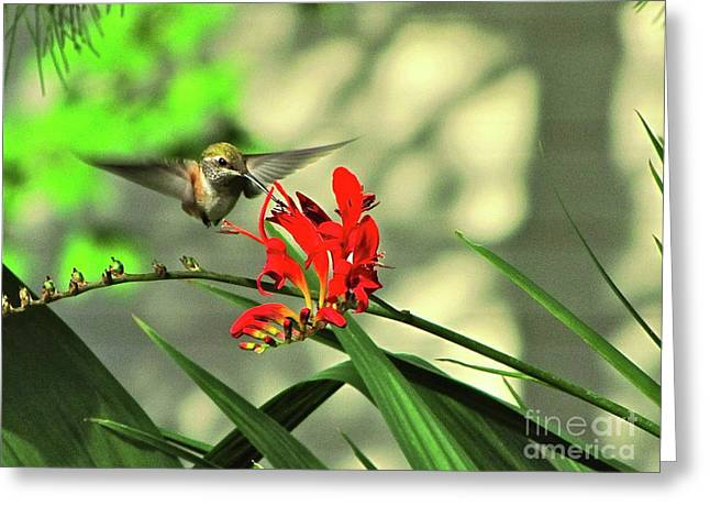 Dappled Light Greeting Cards - Female Rufous Hummingbird Greeting Card by Sean Griffin