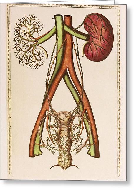 Historical Images Greeting Cards - Female Urogenital System Greeting Card by Mehau Kulyk