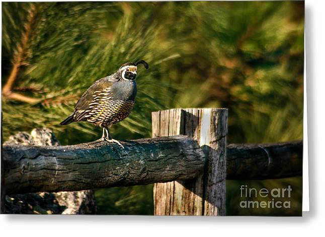 Bird Hunting Greeting Cards - Fence Rider Greeting Card by Robert Bales