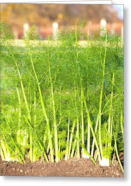 Aniseed Greeting Cards - Fennel Greeting Card by Tom Gowanlock