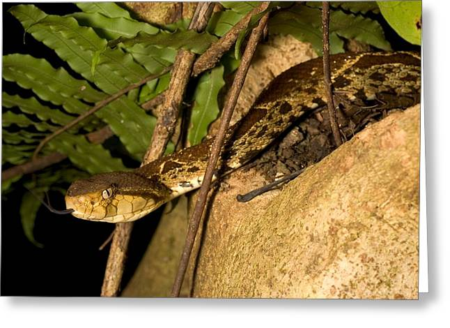 Central American Snake Greeting Cards - Fer-de-lance (Bothrops Greeting Card by Roy Toft