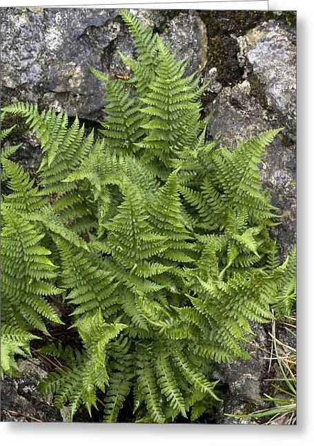 Rigid Greeting Cards - Fern (dryopteris Submontana) Greeting Card by Bob Gibbons