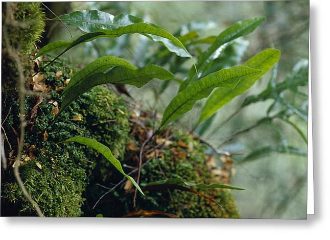Lush Green Greeting Cards - Fern Fronds Emerge From A Moss Covered Greeting Card by Jason Edwards