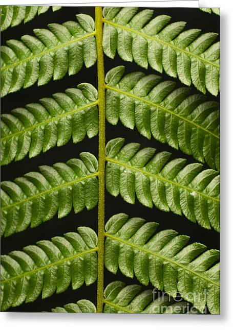 Tendrils Greeting Cards - Fern Tendril Greeting Card by Raul Gonzalez Perez