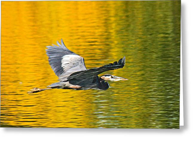 Hunting Bird Greeting Cards - Fernhill Flying Heron Predator Greeting Card by Jean Noren