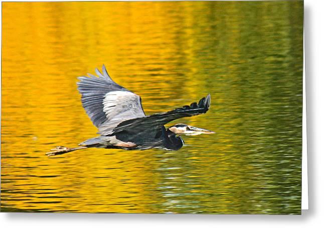 Oregon Wild Life Greeting Cards - Fernhill Flying Heron Predator Greeting Card by Jean Noren