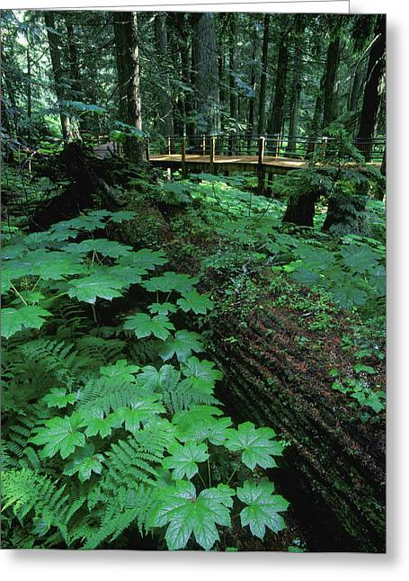 Dappled Light Greeting Cards - Ferns And Bushes On Forest Floor Greeting Card by Don Hammond