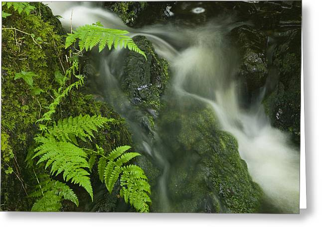 Five Level Greeting Cards - Ferns Growing In Spring Greeting Card by Nigel Hicks