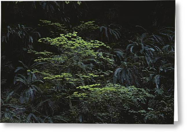 Forests And Forestry Greeting Cards - Ferns Growing In The Olympic Peninsulas Greeting Card by Sam Abell