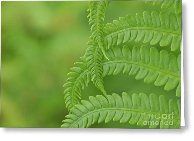 Ostrich Fern Greeting Cards - Ferns Take a Bow Greeting Card by Cheryl Butler