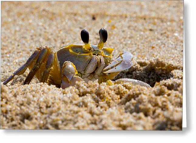 Fiddler Crab Greeting Cards - Fiddler Crab Greeting Card by David Hahn