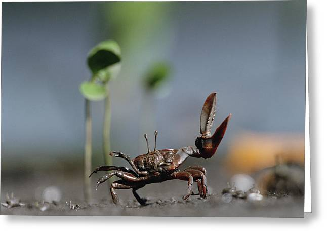 Fiddler Crab Greeting Cards - Fiddler Crab Uca Maracoani Waving Greeting Card by Konrad Wothe