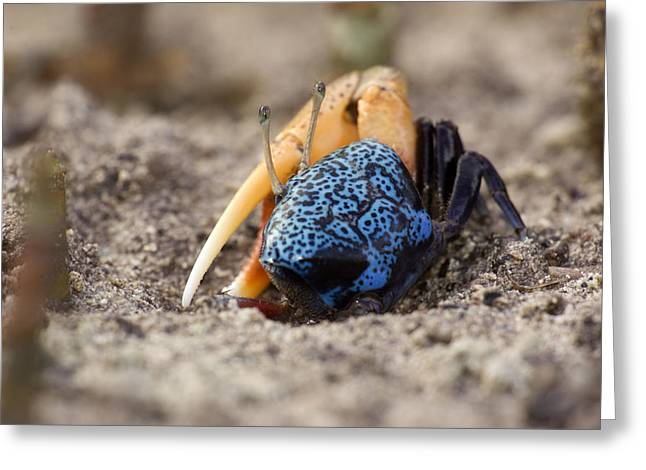 Fiddler Crab Greeting Cards - Fiddler Crabs In A Sandy Tidal Flat Greeting Card by Tim Laman