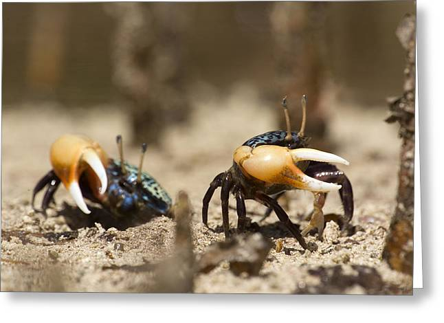 Fiddler Crab Greeting Cards - Fiddler Crabs Living In The Roots Greeting Card by Tim Laman