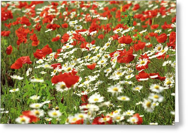Cultivation Greeting Cards - Field of daisies and poppies. Greeting Card by Bernard Jaubert