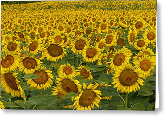 Yellow Sunflower Greeting Cards - Field of Domestic Sunflowers Greeting Card by Kenneth M Highfill and Photo Researchers