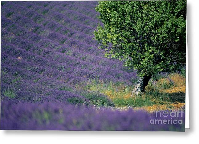 The Plateaus Greeting Cards - Field of lavender Greeting Card by Bernard Jaubert