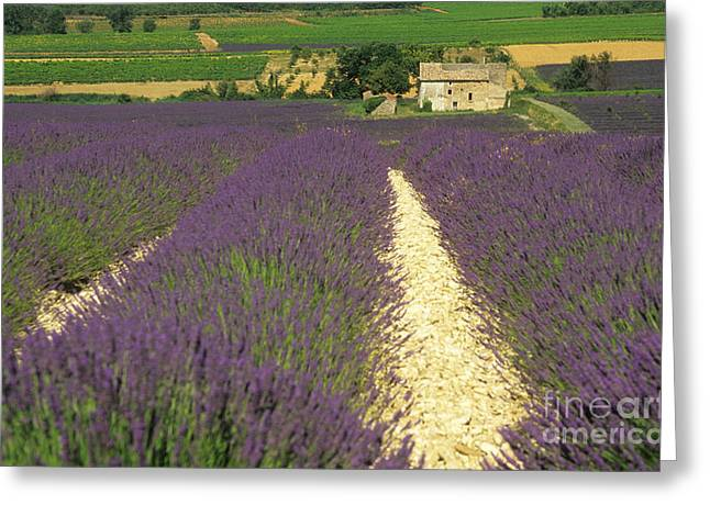 Lavandula Greeting Cards - Field of lavender. Drome Greeting Card by Bernard Jaubert