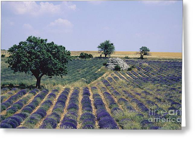 Plateau De Sault Greeting Cards - Field of lavender. Sault. Vaucluse Greeting Card by Bernard Jaubert