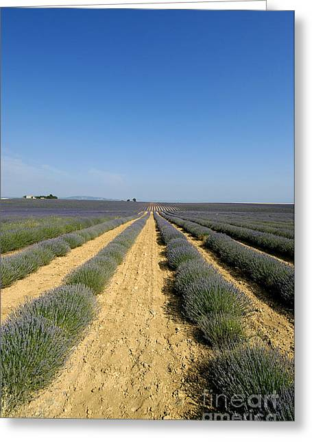 Perfumeries Greeting Cards - Field of lavender. Valensole Greeting Card by Bernard Jaubert