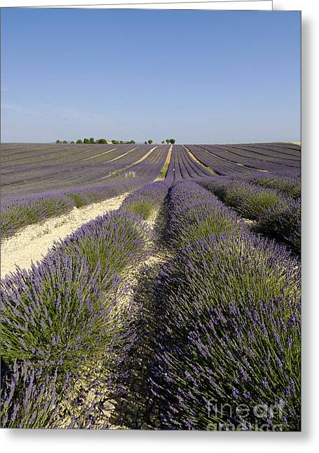 Lavandula Greeting Cards - Field of lavender. Valensole. Provence Greeting Card by Bernard Jaubert