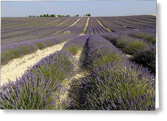 Field of lavender. Valensole. Provence Greeting Card by BERNARD JAUBERT