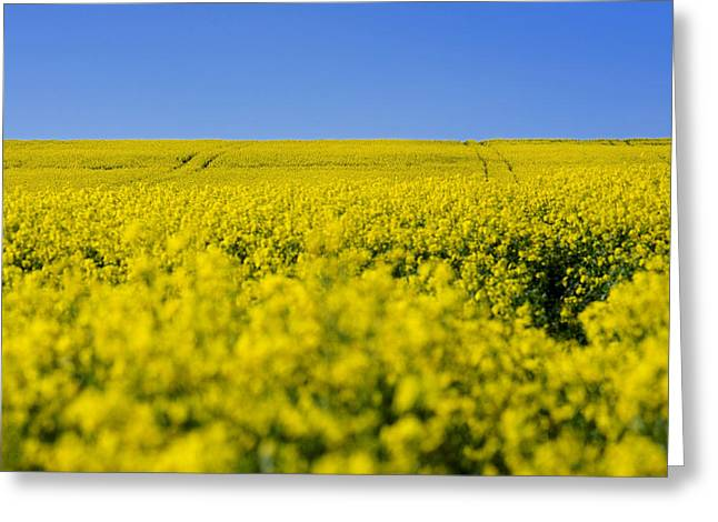 Agriculturally Greeting Cards - Field of rape in bloom. Auvergne. France. Europe Greeting Card by Bernard Jaubert