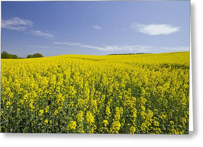 Oblong Greeting Cards - Field of Rapeseeds Greeting Card by Melanie Viola