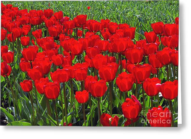 Field of Red Tulips Greeting Card by Sharon  Talson