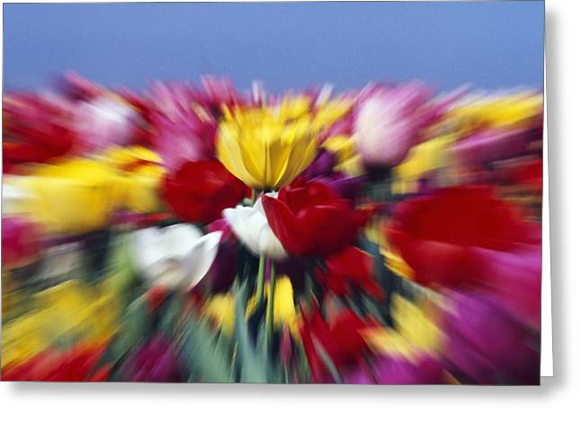 Field Of Tulip Flowers With Zoom-effect Greeting Card by Natural Selection Craig Tuttle