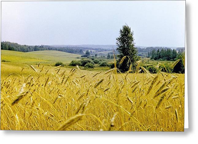 1980s Greeting Cards - Field Of Wheat Greeting Card by Ria Novosti