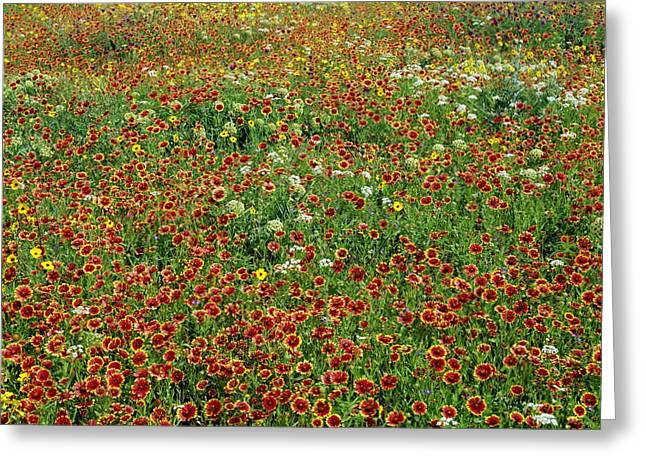 Wild Flowers Of Texas Greeting Cards - Field Of Wildflowers Greeting Card by David Chapman