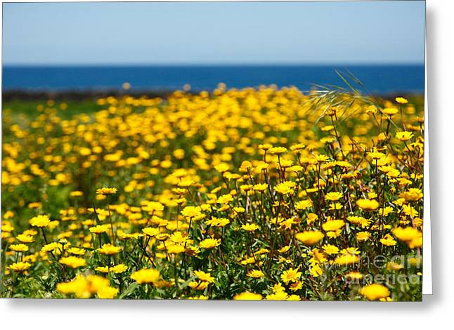 Field Of Yellow Daisies Greeting Card by Gaspar Avila