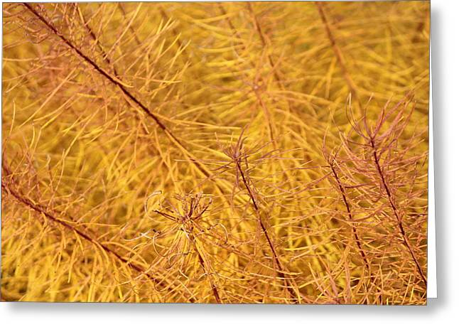Becky Lodes Greeting Cards - Fields of gold Greeting Card by Becky Lodes