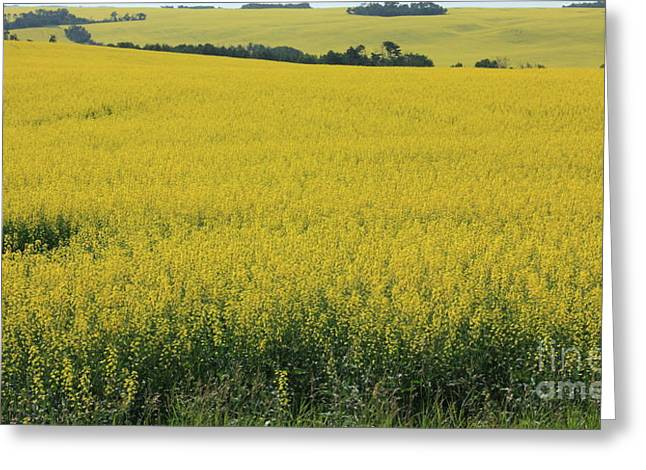Alberta Greeting Cards - Fields of Gold Greeting Card by Jim Sauchyn