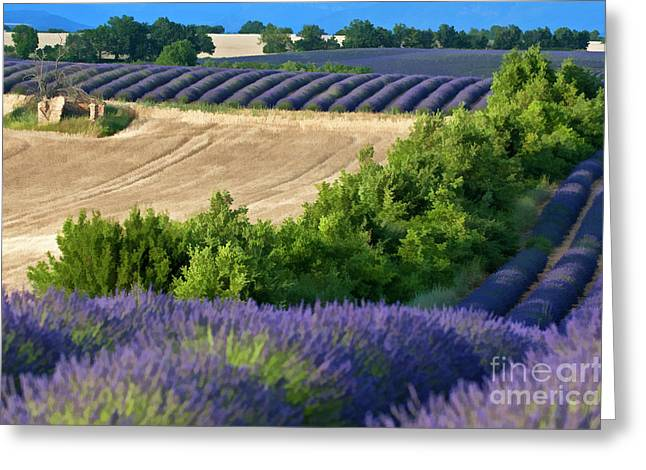 Cultivation Digital Art Greeting Cards - Fields of lavender and harvested wheat Greeting Card by Sami Sarkis