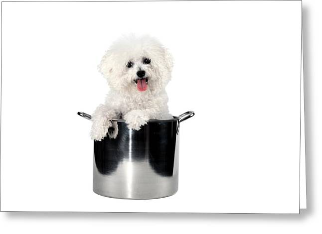 Fifi The Bichon Frise Greeting Cards - Fifi helps with dinner Greeting Card by Michael Ledray
