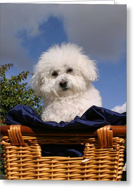 Fifi The Bichon Frise Greeting Cards - Fifi says Hi Greeting Card by Michael Ledray