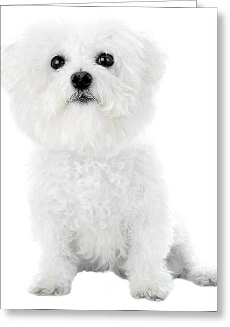 Canine Posters Greeting Cards - Fifi the Bichon Frise in White On White Greeting Card by Michael Ledray