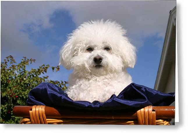 Fifi The Bichon Frise Greeting Cards - Fifi the Bichon Frise Greeting Card by Michael Ledray