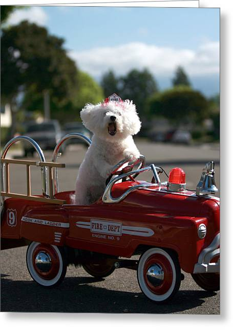 Fifi The Bichon Frise Greeting Cards - Fifi the bichon frise to the Rescue Greeting Card by Michael Ledray